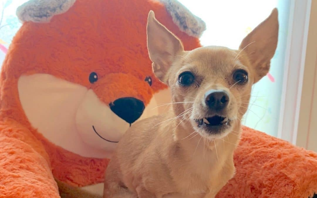Why Do Chihuahuas Bark So Much?