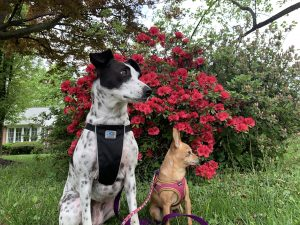 Matilda, chihuahua minpin mix, and Cow, black and white dog, sitting in front of flowers