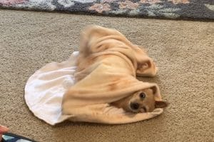 How To Teach Your Dog To Roll Herself In A Burrito