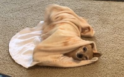 How To Teach Your Dog To Roll Herself Up In A Blanket