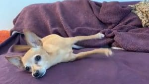 How To Train Your Dog To Play Dead - Chihuahua Mix Playing Dead