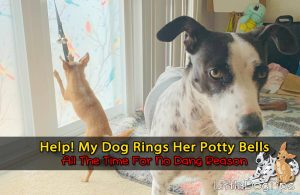 Dog Ringing Potty Bells All The Time Doesn't Have to Go Out