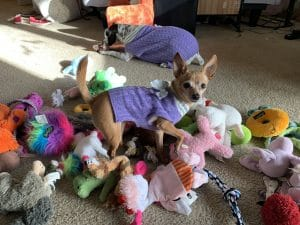 Epic Toy Party For Dogs Matilda and Cow in a pile of toys