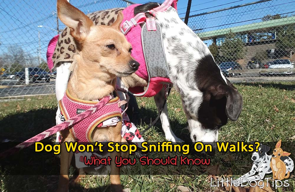 Dog Won't Stop Sniffing On Walks? What You Should Know