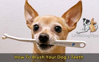 How To Brush Your Little Dog's Teeth