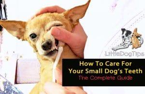 Small Dog Dental Health - Matilda Chihuahua getting her teeth brushed