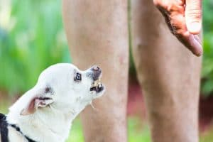 Why Are Chihuahuas So Aggressive?