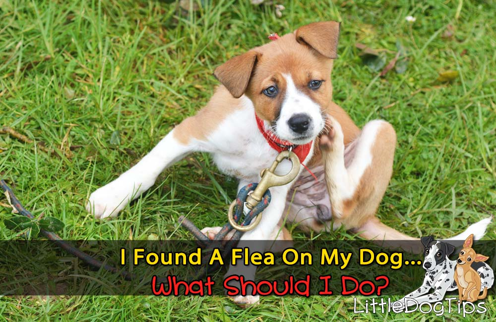 I Found A Flea On My Dog… What Do I Do??