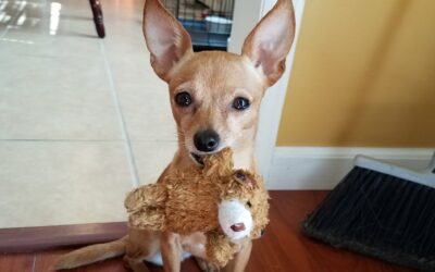 Does Your Dog Whine And Carry A Toy Around In Her Mouth?